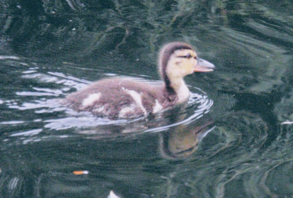 A picture of an adorable fuzzy duckling, swimming in the water.